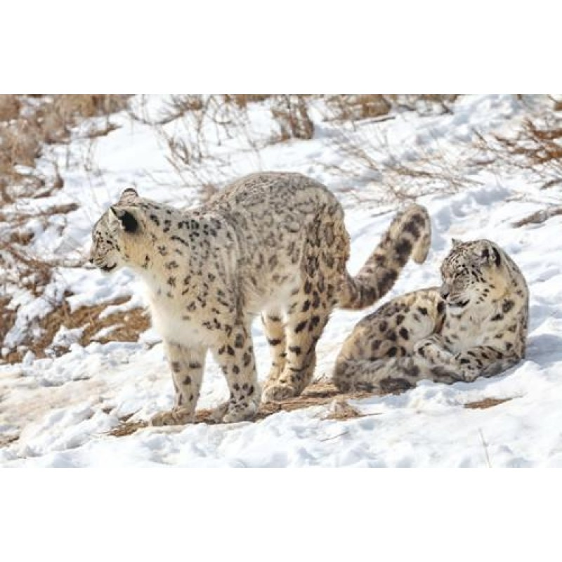 Snow Leopard | 5D Diamond...